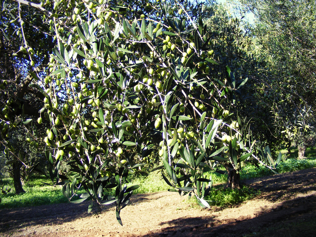 Olive tree laden with green fruit
