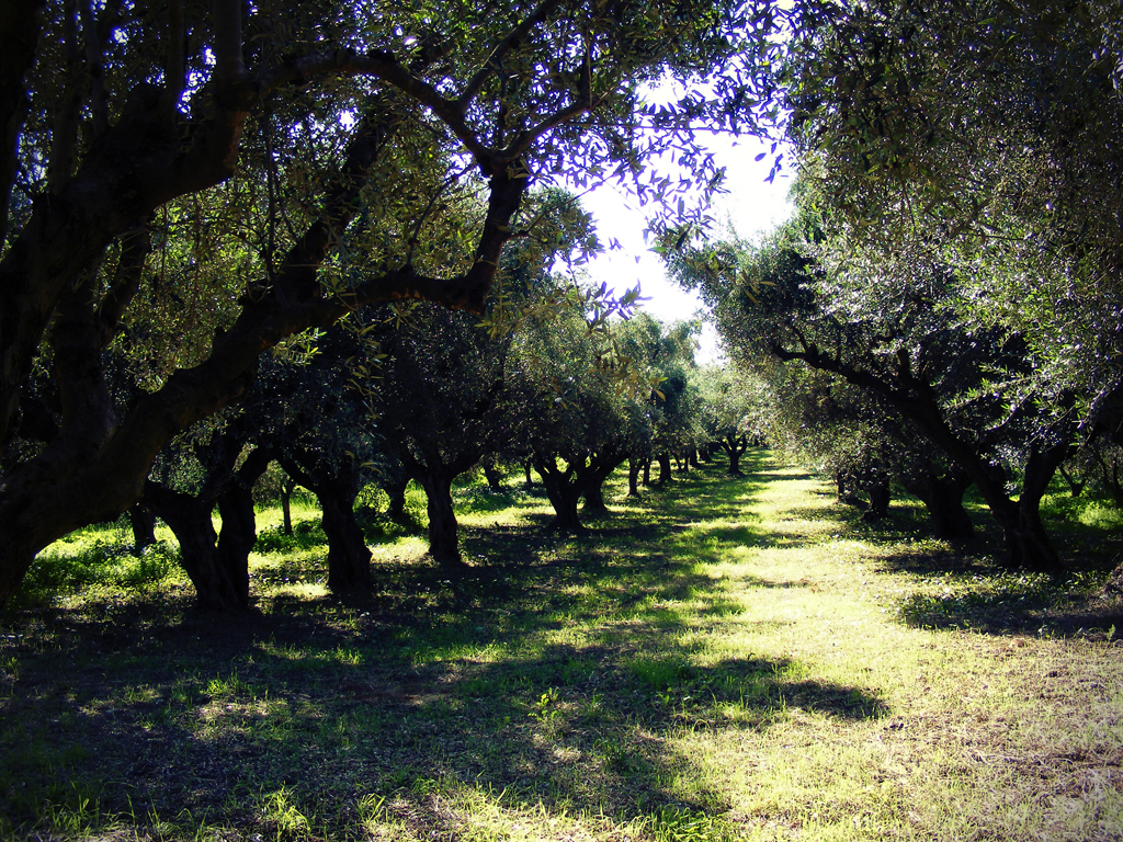 Pafiolis Estate Olive Grove